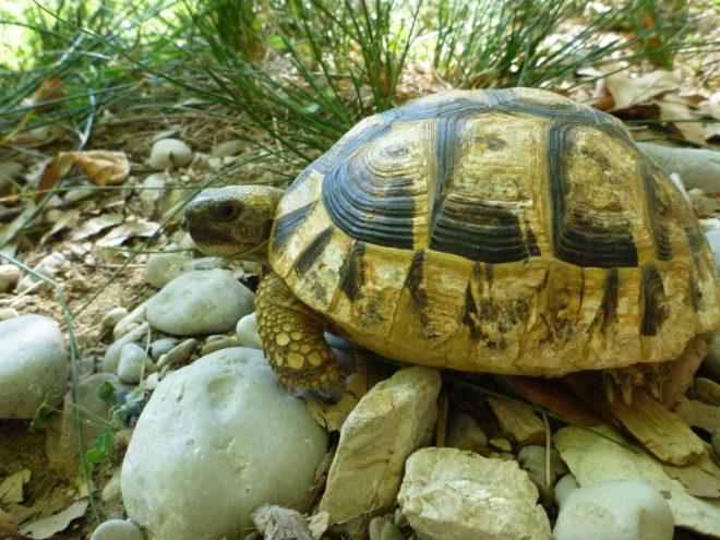 Schildkröte Kleidonia - Nima Ashoff